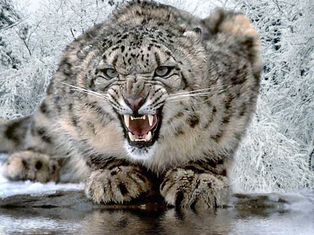 snow-leopard1